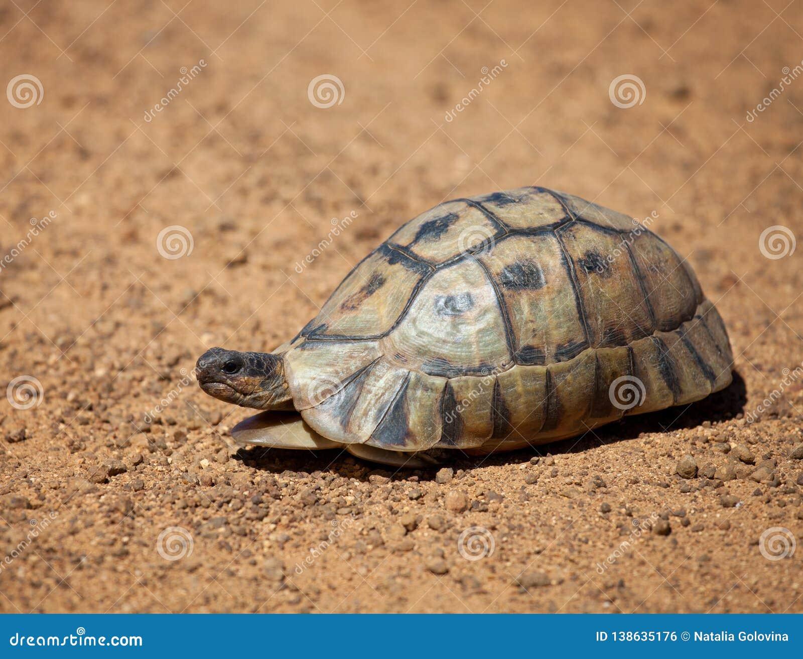 Leopardsköldpadda som irrar långsamt längs grusvägen Sydafrika