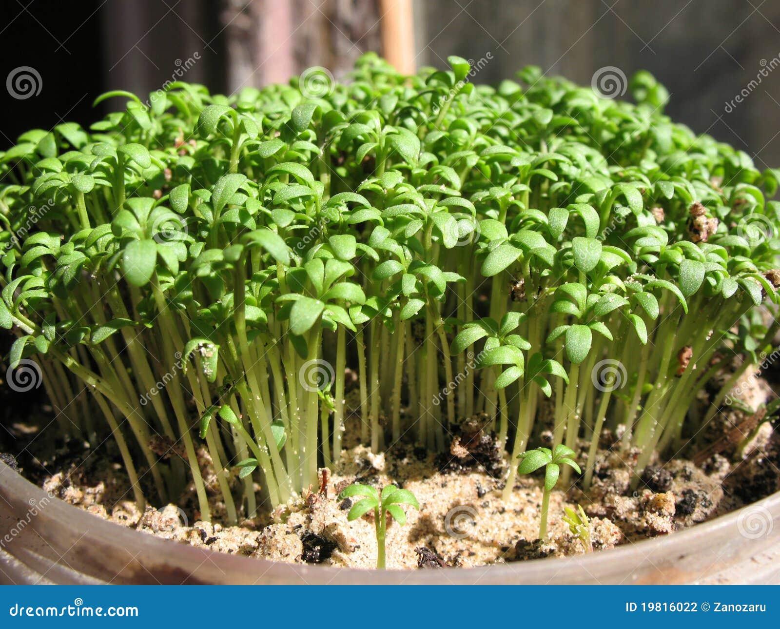 как выглядит кресс салат