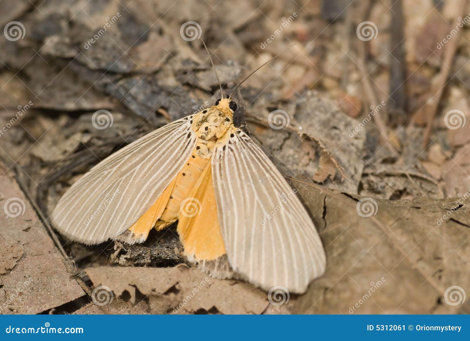 Download Lepidottero immagine stock. Immagine di esterno, nero - 5312061