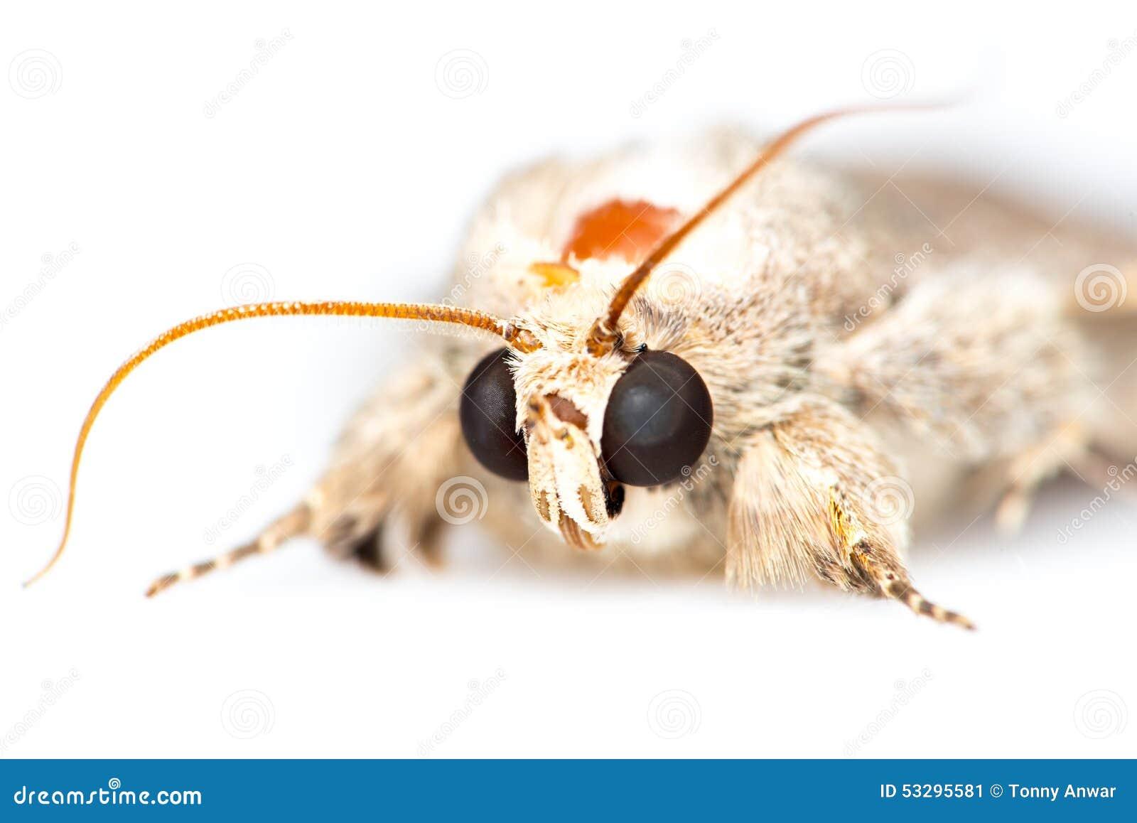 Lepidottero