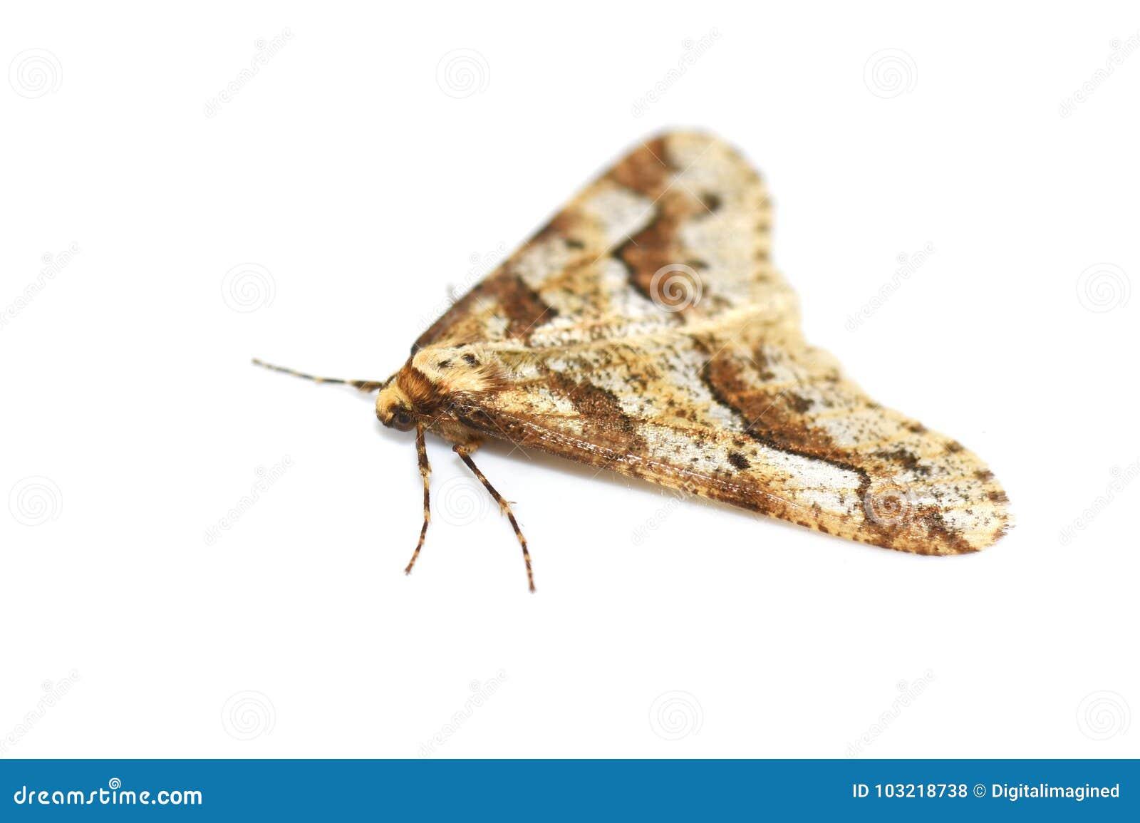 Lepidottero chiazzato del Umber