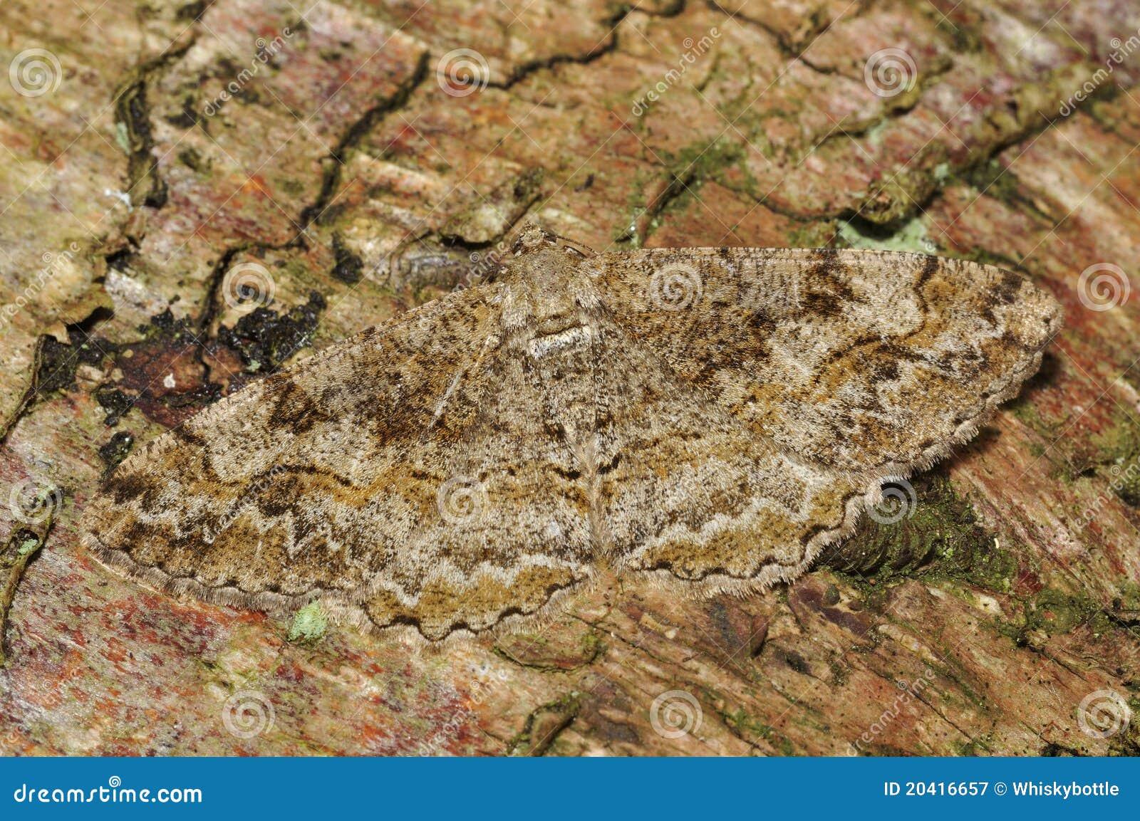 Lepidottero chiazzato di bellezza