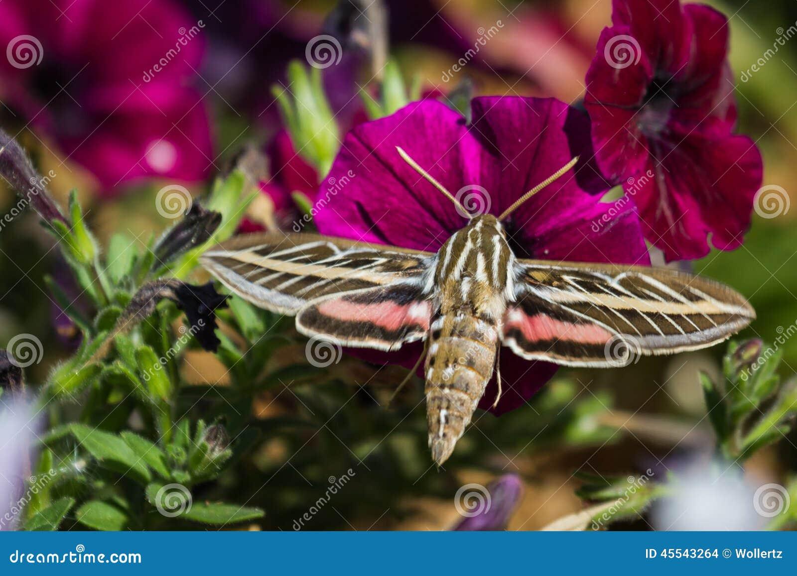 Lepidottero dell uccello di ronzio