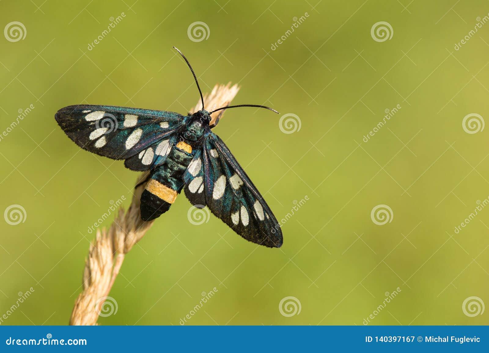 Lepidottero Nove-macchiato o pimpinella allacciata gialla, phegea di Amata, precedentemente phegea di Syntomis, in repubblica Cec