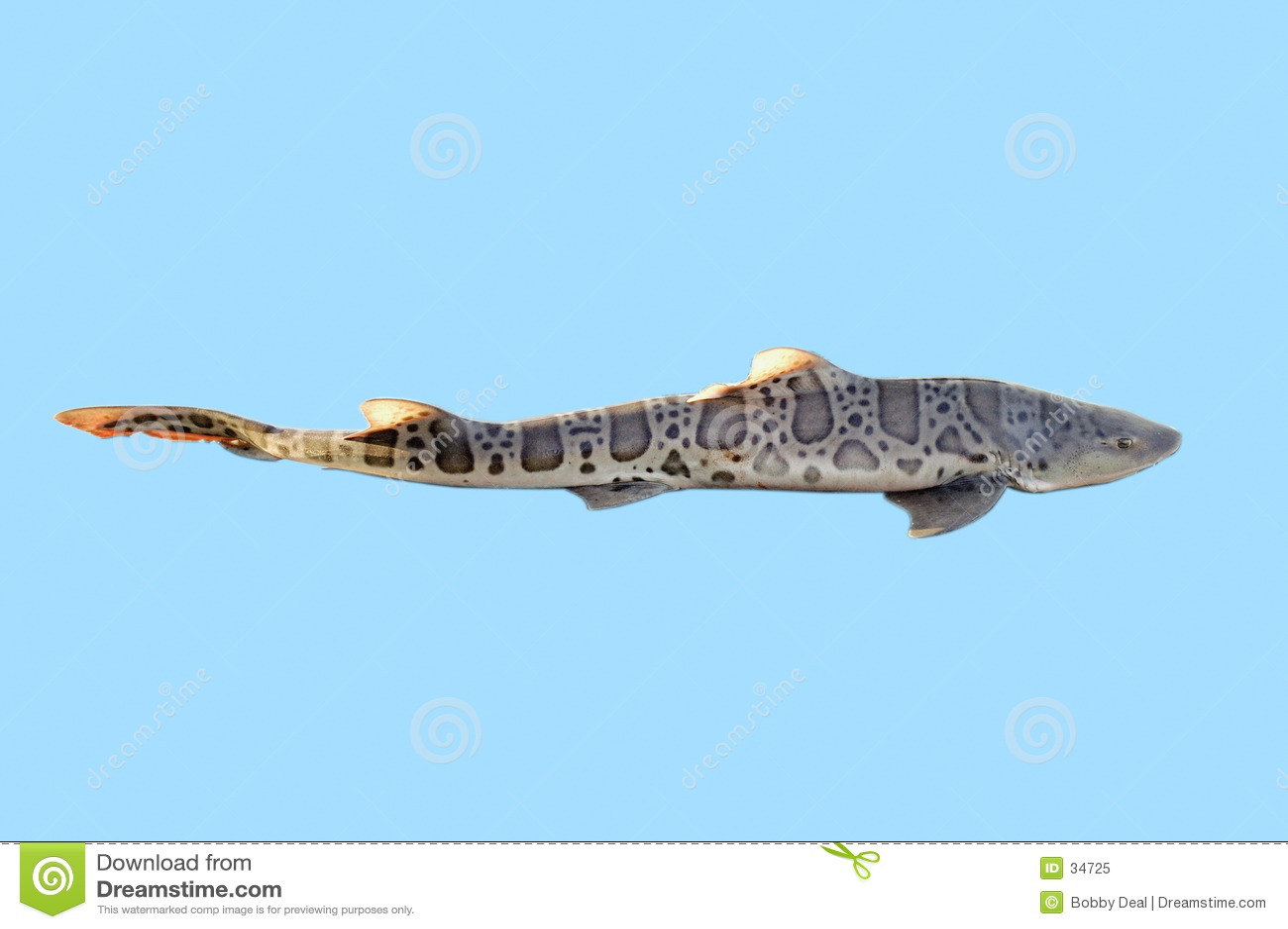 Download Lepoard rekin obraz stock. Obraz złożonej z promień, ryba - 34725