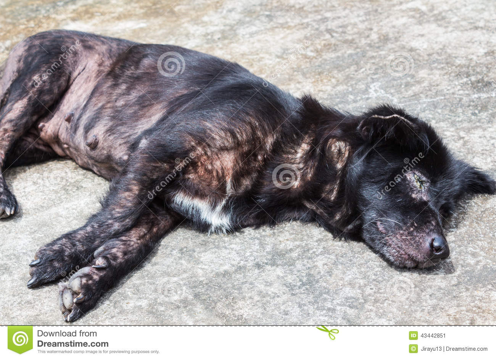 dog skin disorders mange submited images