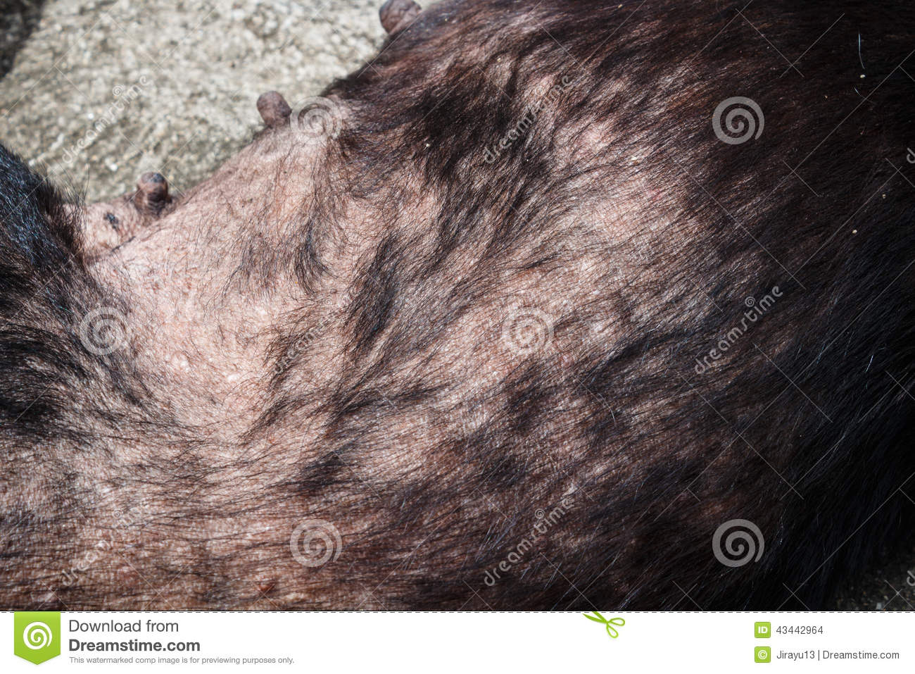 Leprosy Dog Stock Photo   Image  43442964