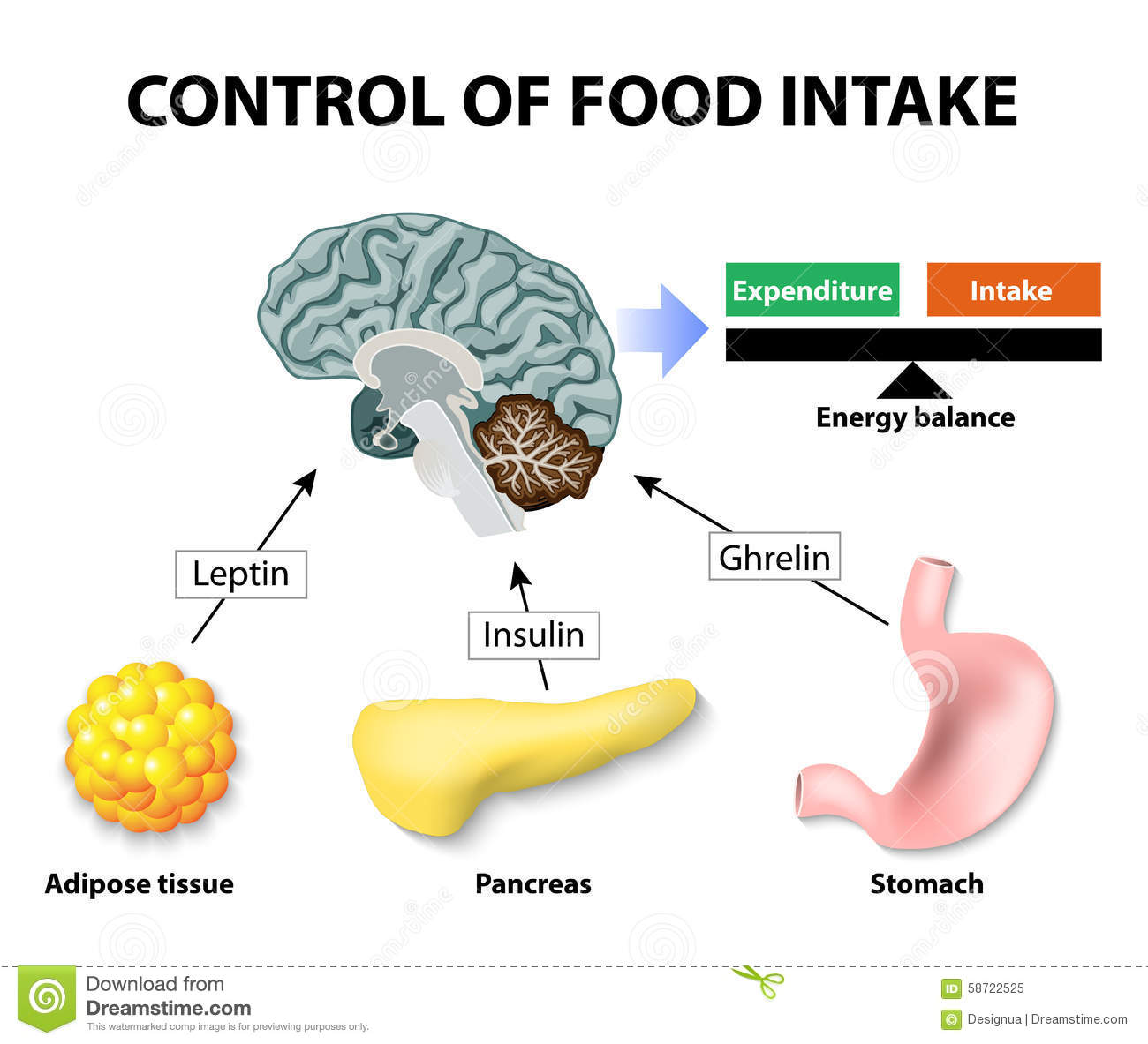 Control of food intake. Human hormones. Leptin, insulin and Ghrelin ...