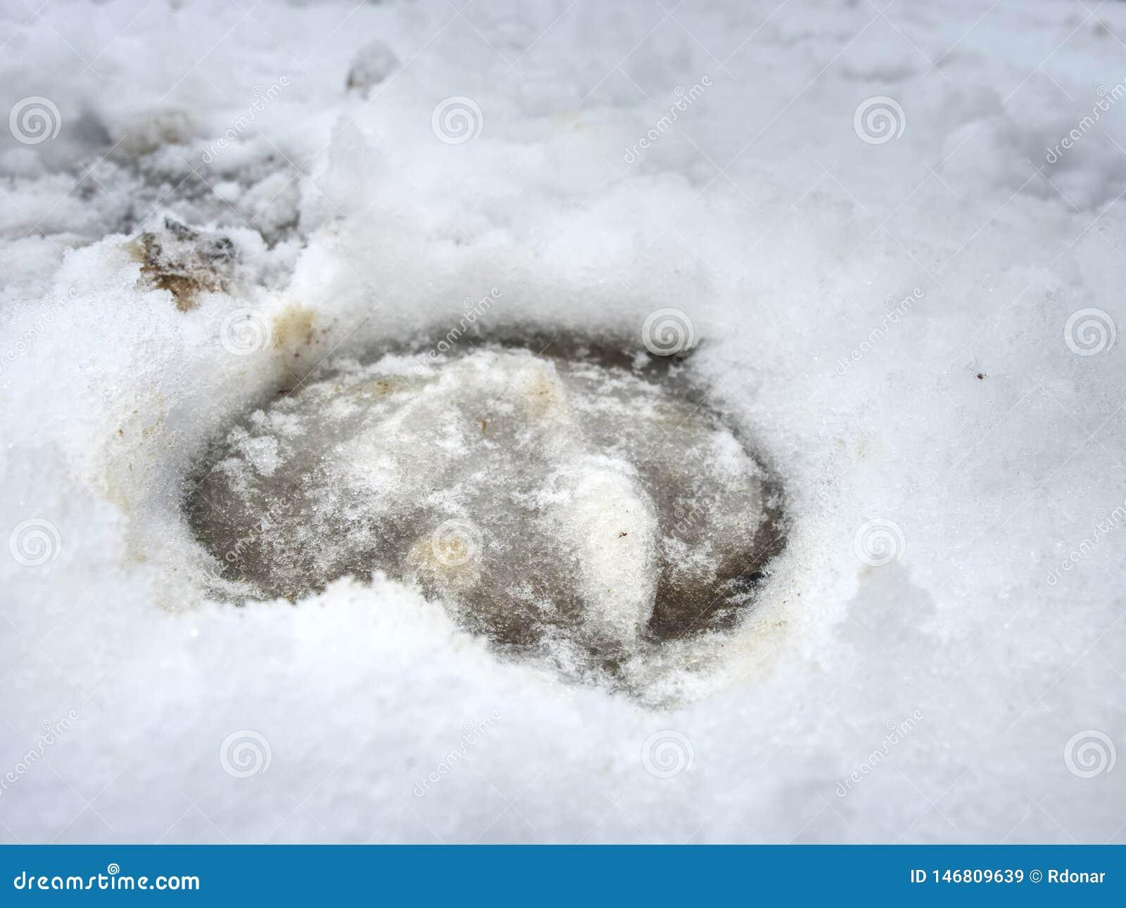 Lerigt hästklövtryck i hal snö