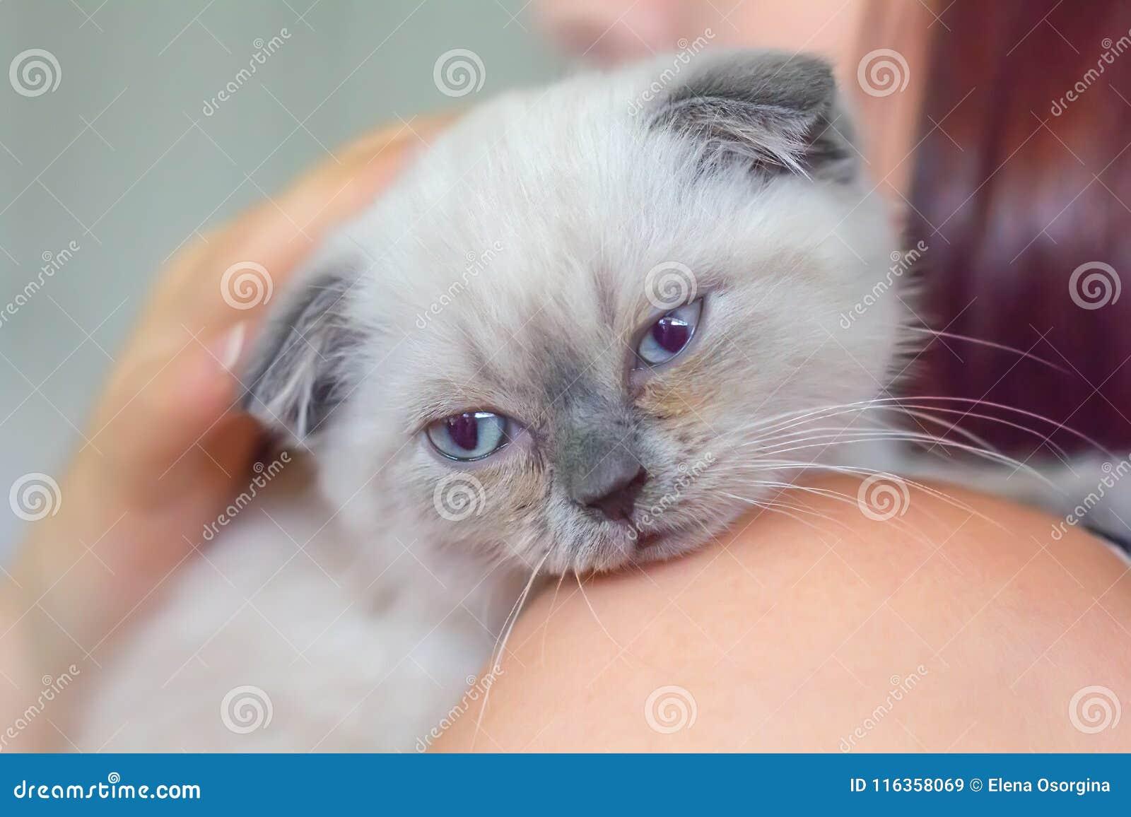Les écossais gris de chaton se plient sur l épaule d une femme