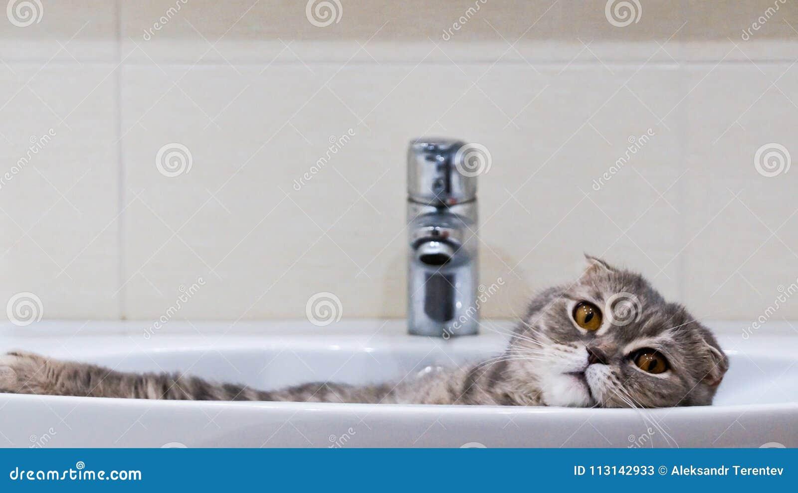Les écossais plient le mensonge de chat décontracté dans l évier