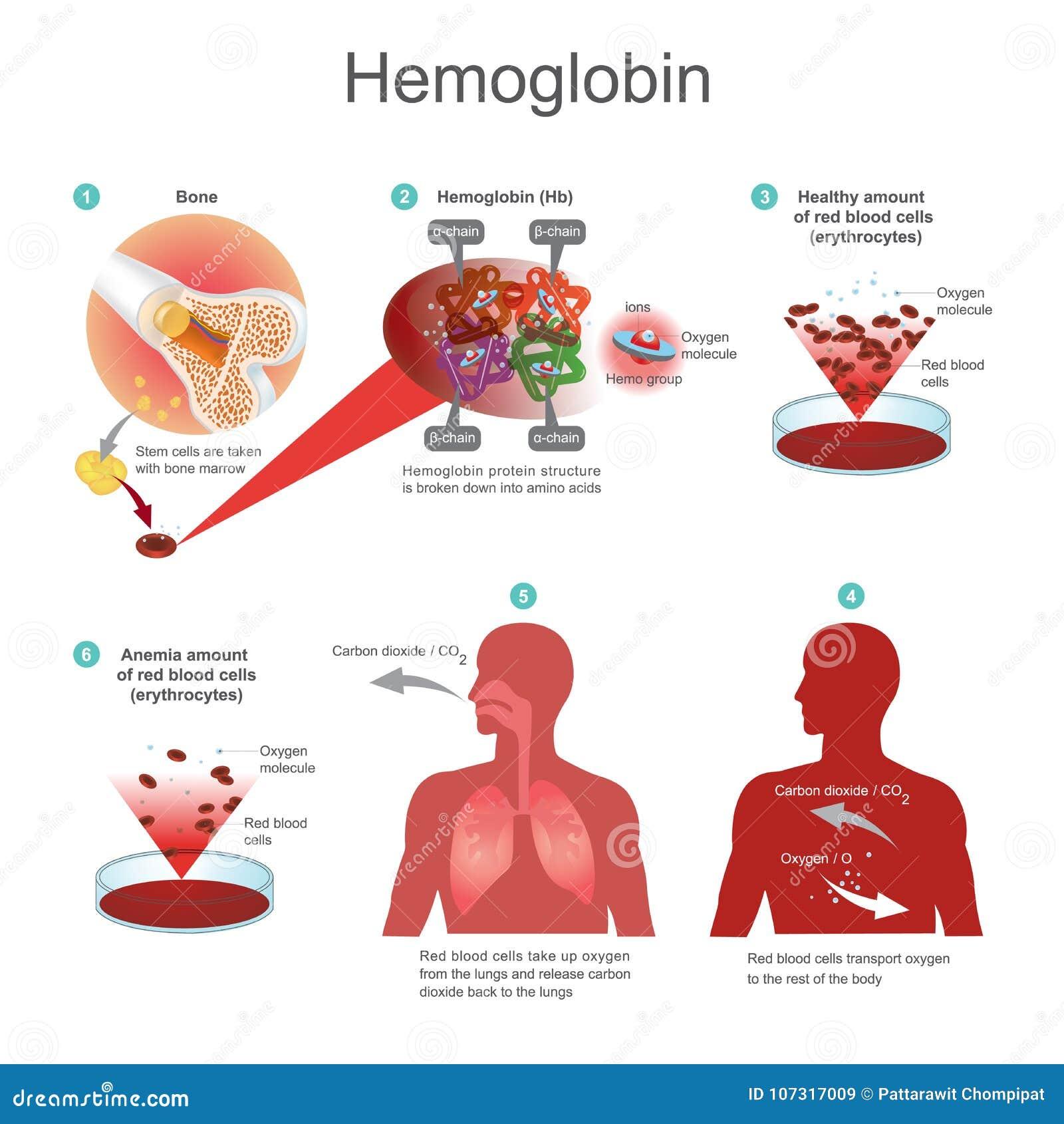 globule rouge hémoglobine