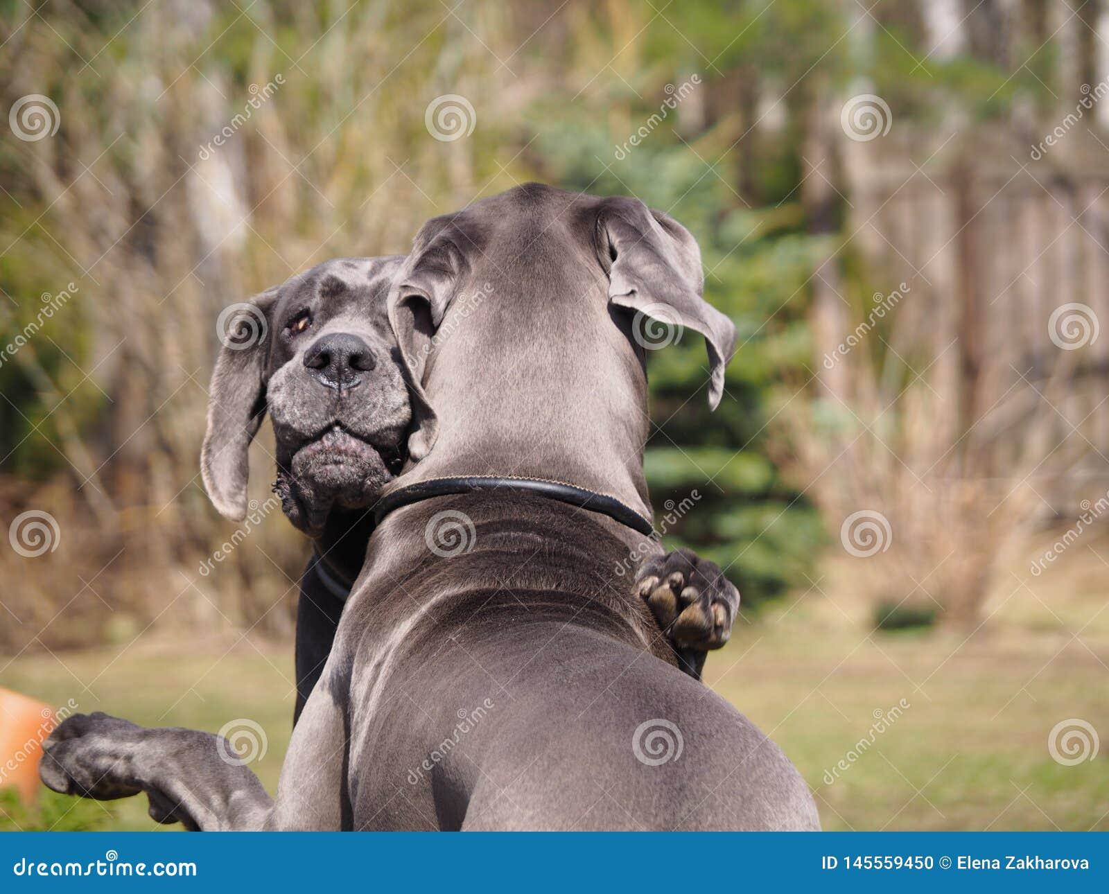 Les étreintes et les chiens de jeux multiplient la couleur bleue de great dane