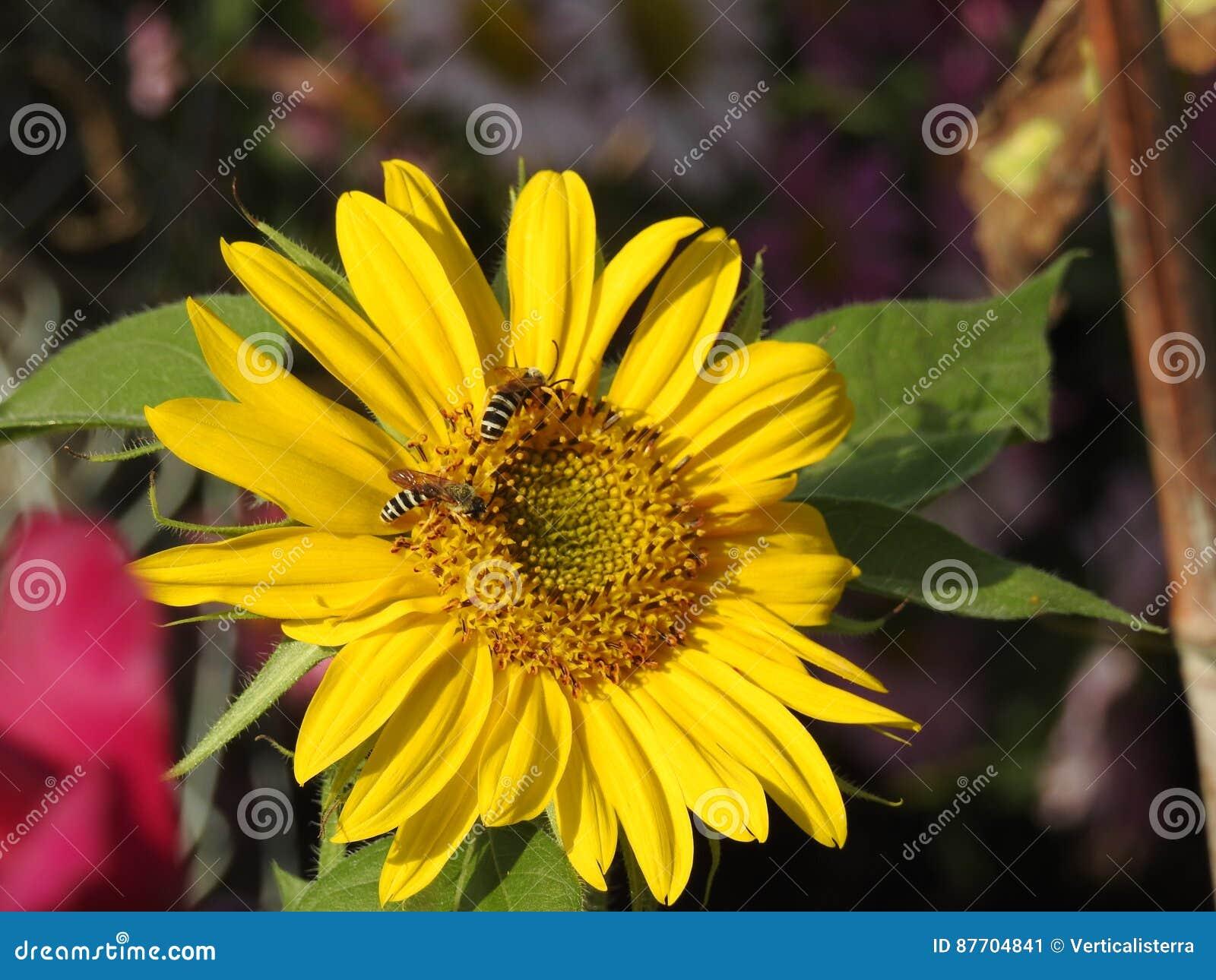 Les abeilles aiment des guêpes forageant en tournesols d amour