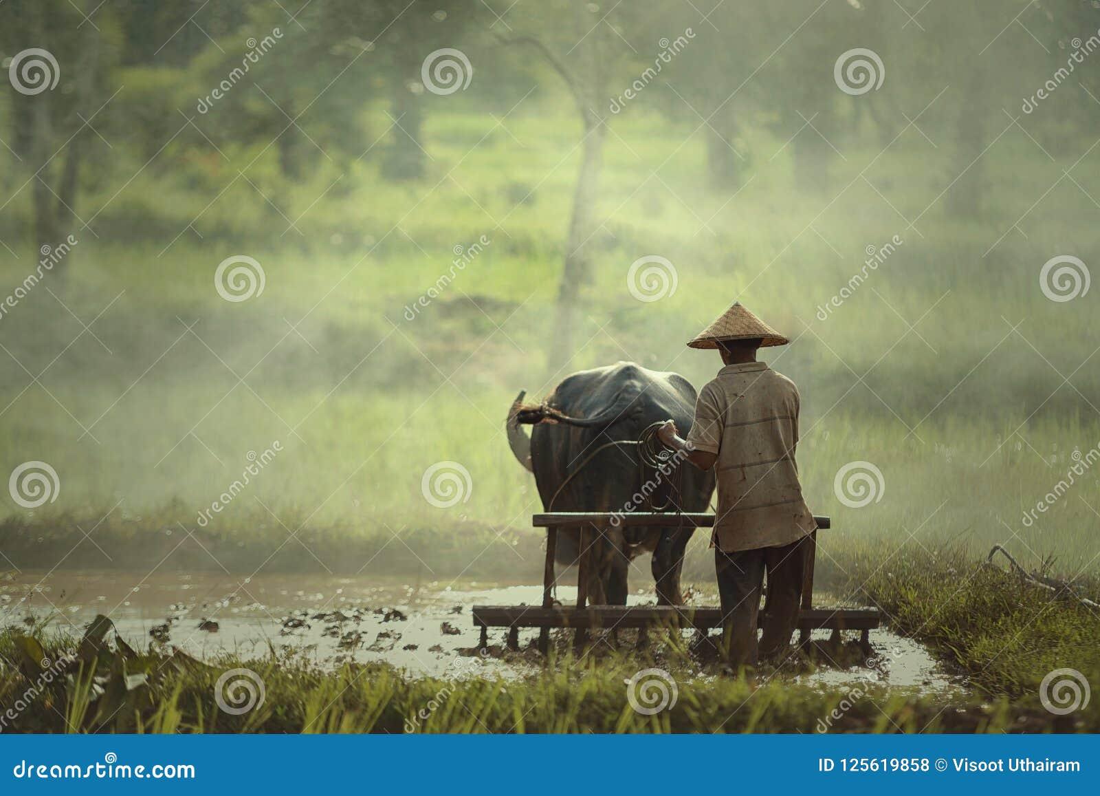 Les agriculteurs emploient le buffle pour labourer préparer le riz pour planter dedans