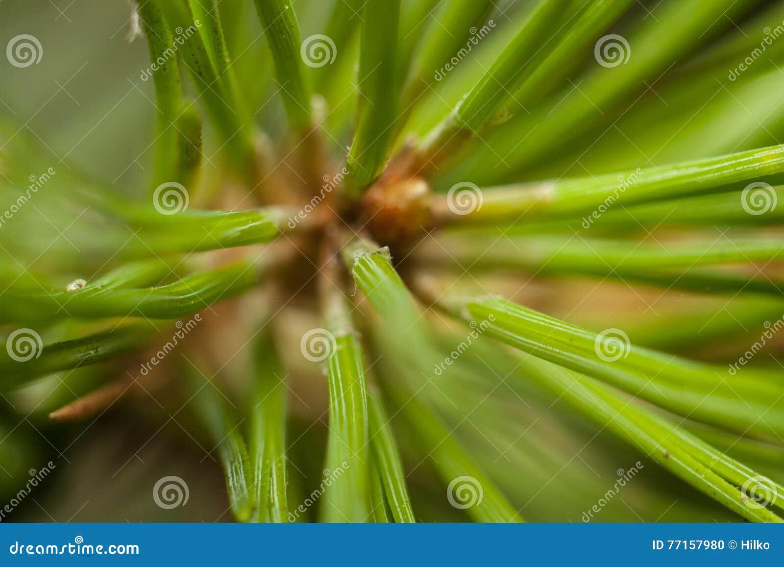 Les aiguilles du pin