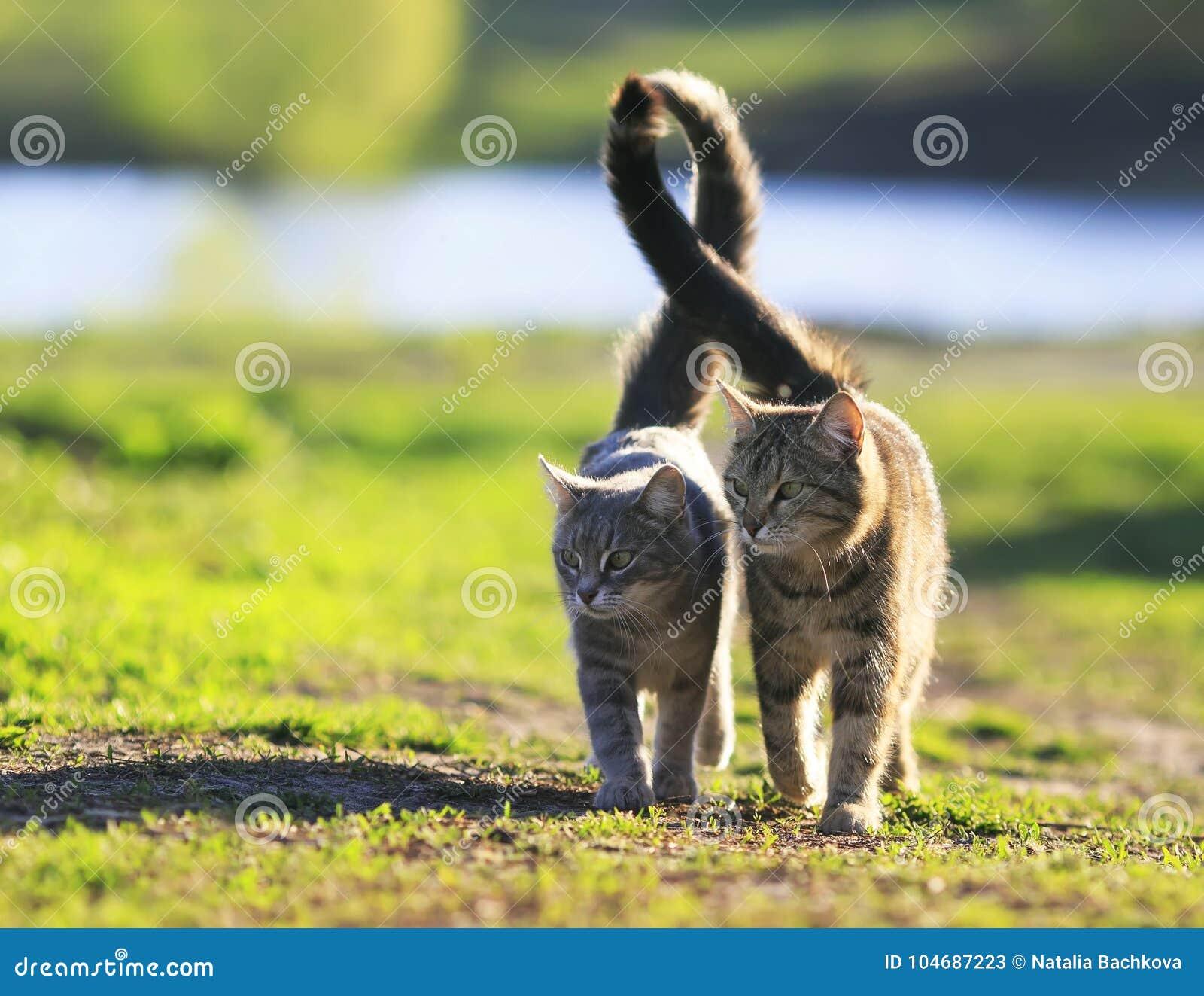 Les amants couplent la promenade de chats rayée ensemble sur le pré vert dans Sunn