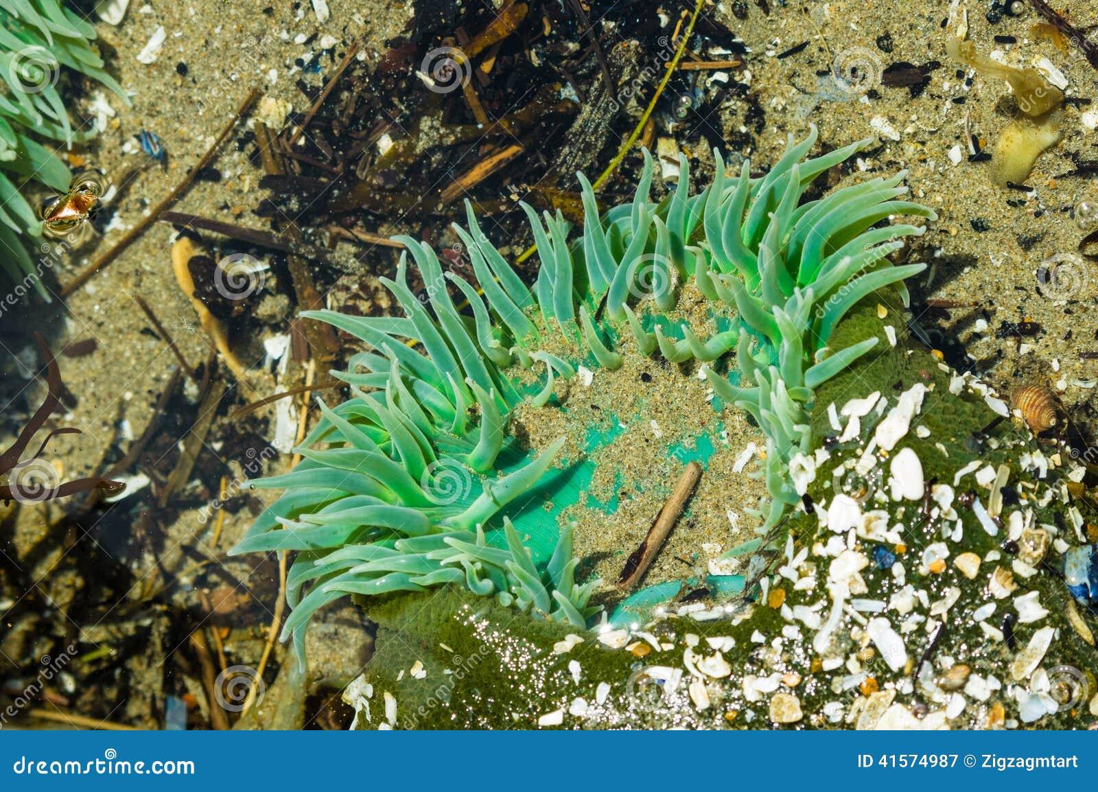 Les anémones de GSea ont attaché aux roches dans une piscine de marée