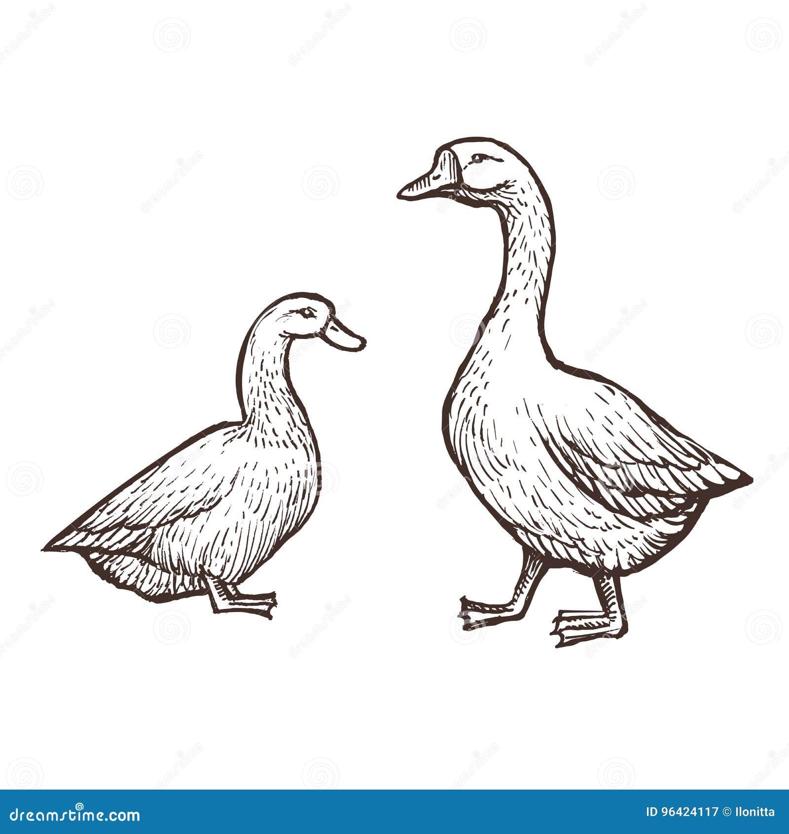 Les animaux de ferme d oie et de canard esquissent, les oiseaux d isolement sur le fond blanc Type de cru