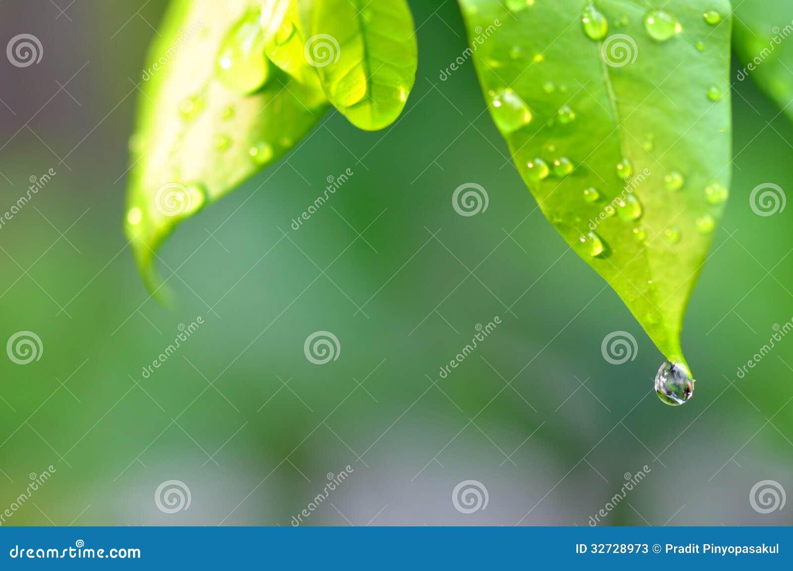 Les baisses de la rosée arrosent sur une feuille verte fraîche