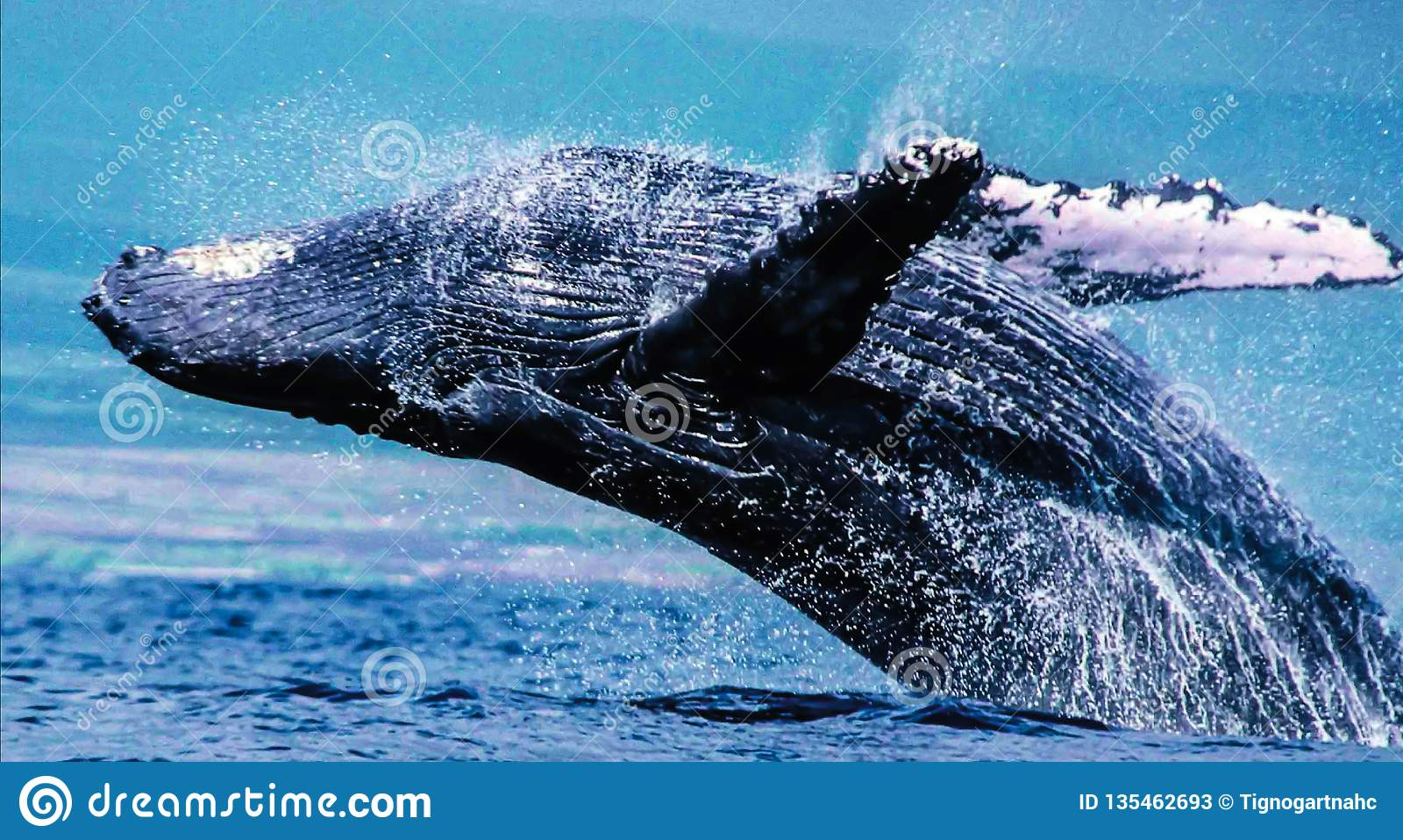 Les baleines de bosse peuvent se pousser droits hors de l eau, tordant dans le ciel pour débarquer sur leurs dos avec une énorme