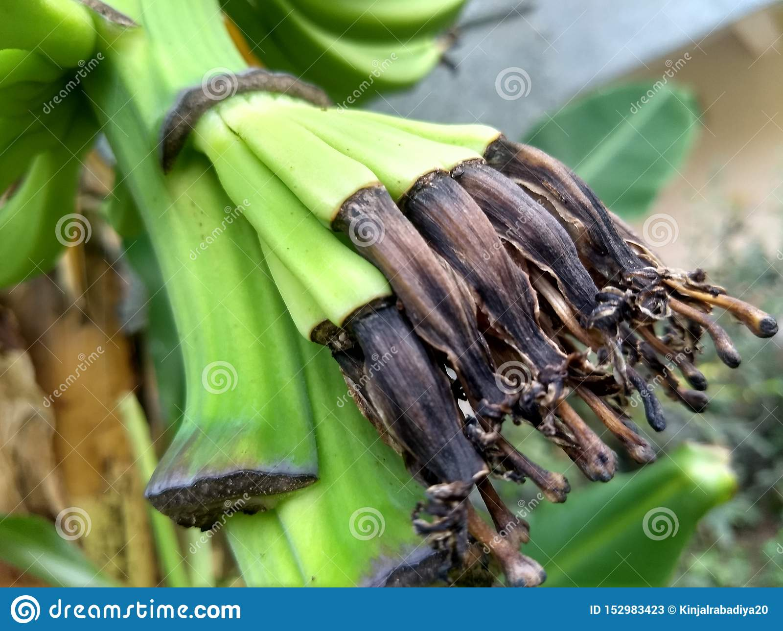Les bananes de bébé se développent de la fleur de banane dans le secteur de jardin