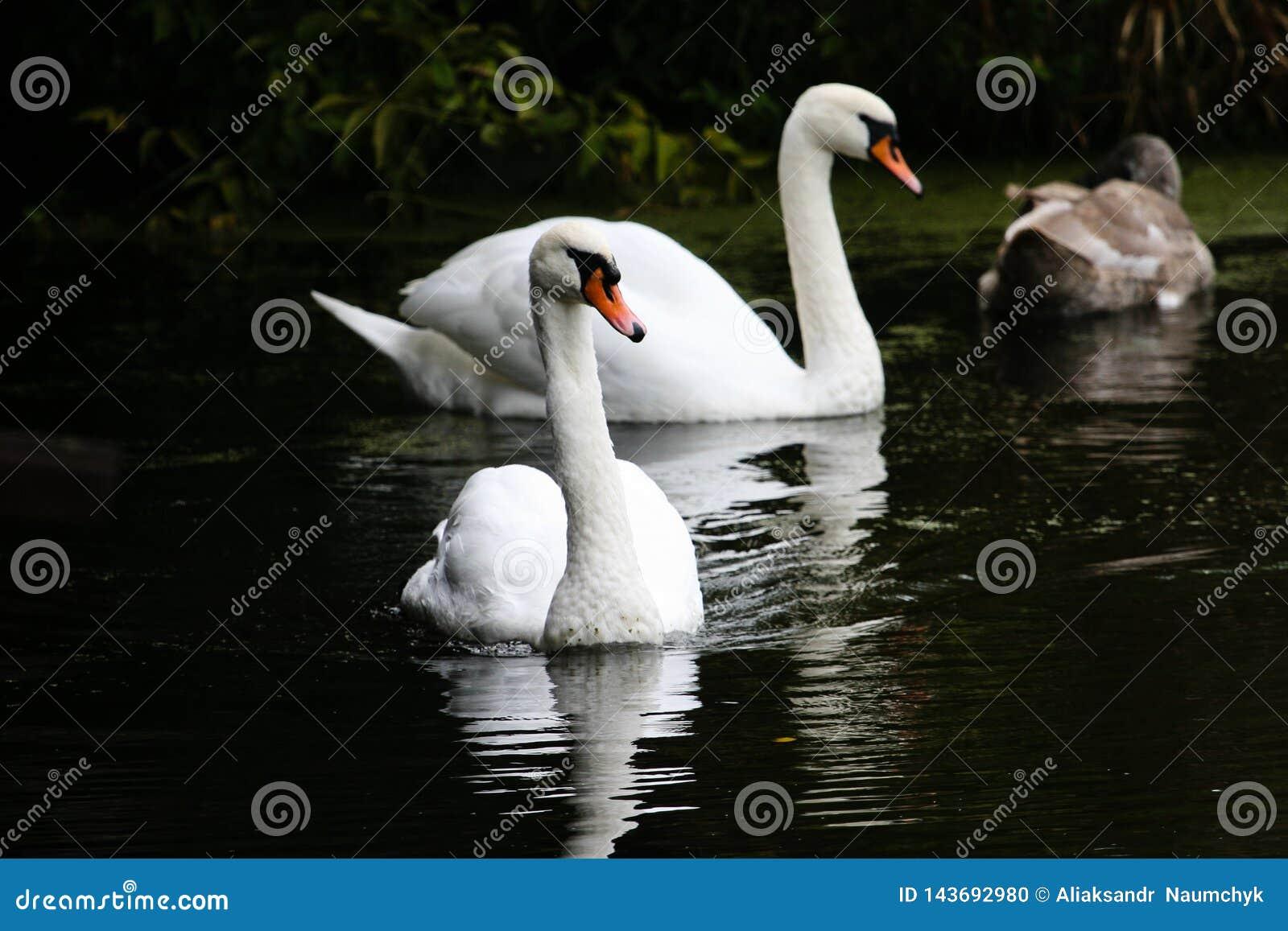 Les beaux cygnes nagent le long de la rivière