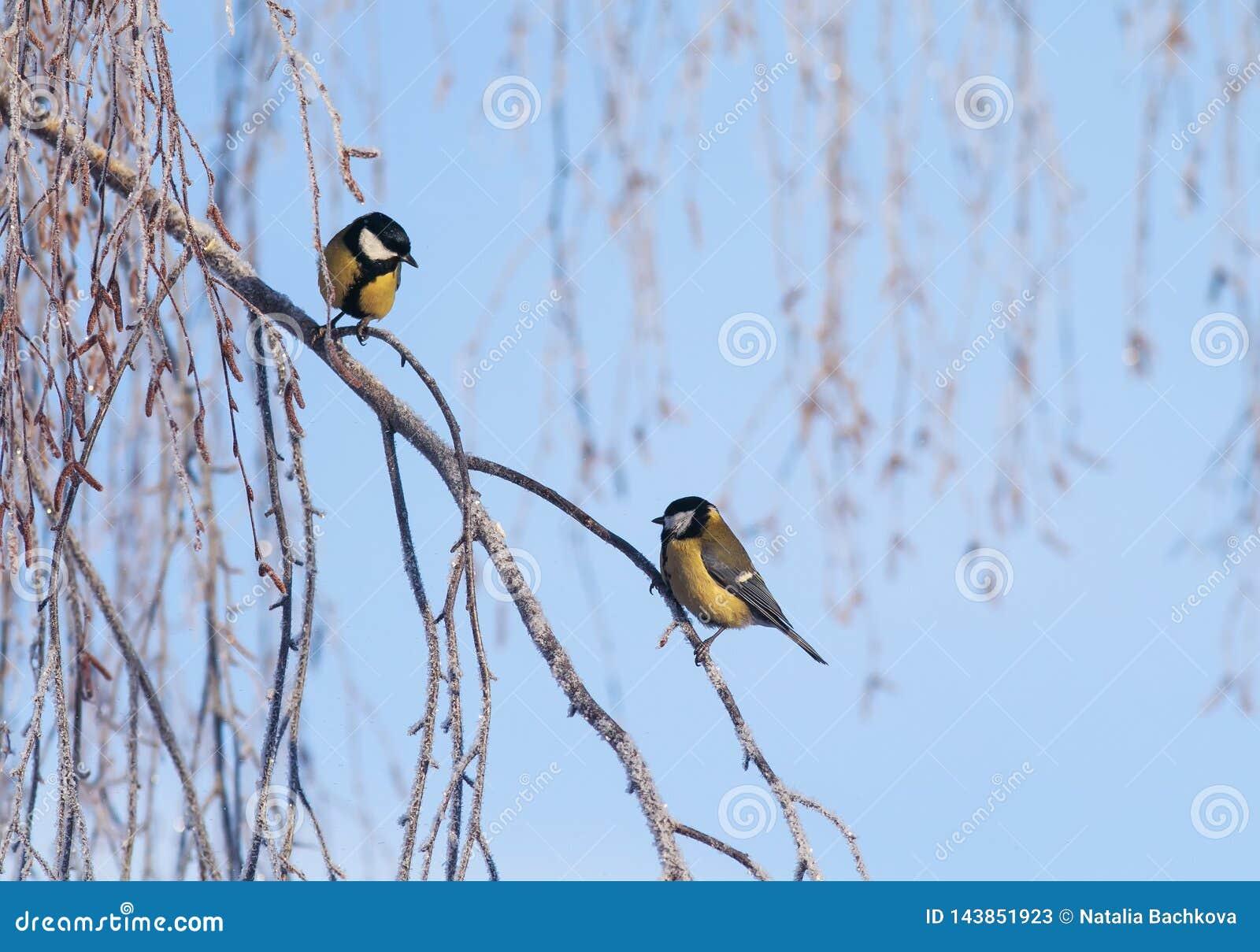 Les beaux petits oiseaux d une mésange se reposent sur des branches couvertes de gel blanc pelucheux en parc d hiver