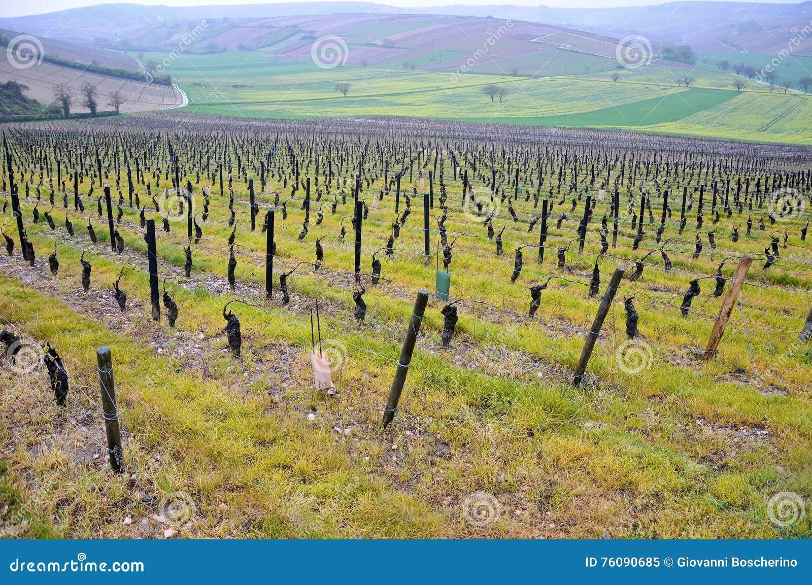 Les beaux vignobles dans le sancerre où du vin est produit, franc