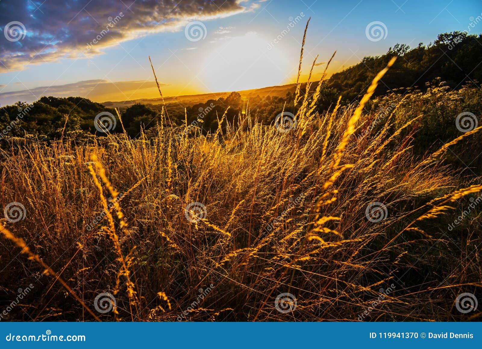 Les belles herbes d or vues comme soleil place au-dessus du parc de campagne de vallée de Combe dans le Sussex est, Angleterre