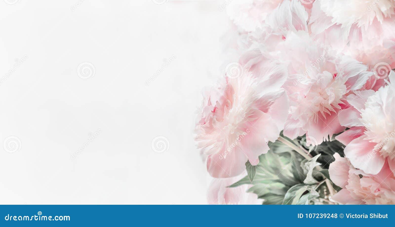 Les belles pivoines de rose en pastel fleurit sur le fond blanc, vue de face Frontière ou disposition ou carte de voeux florale