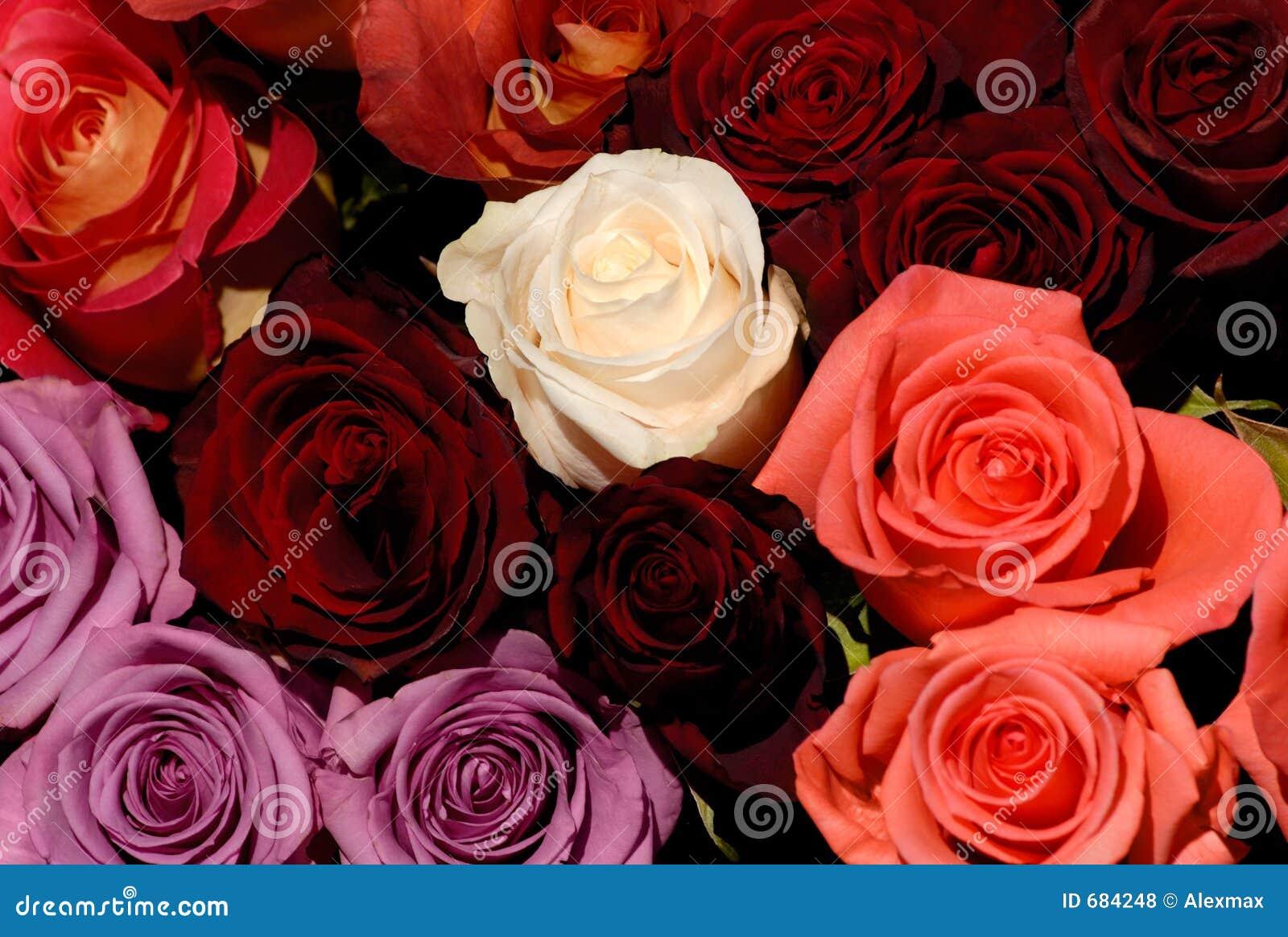 les belles roses rouges et blanches fleurit le fond d. Black Bedroom Furniture Sets. Home Design Ideas