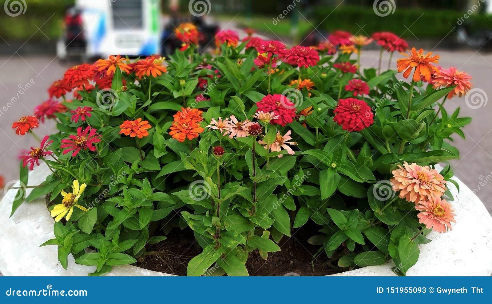Les buissons colorés de dahlia fleurissent au soleil