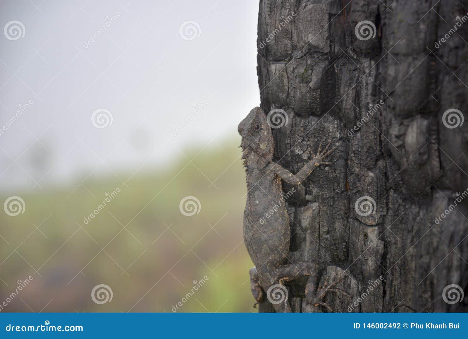 Les caméléons changent la couleur sur la partie brûlée 11 de tronc d arbre