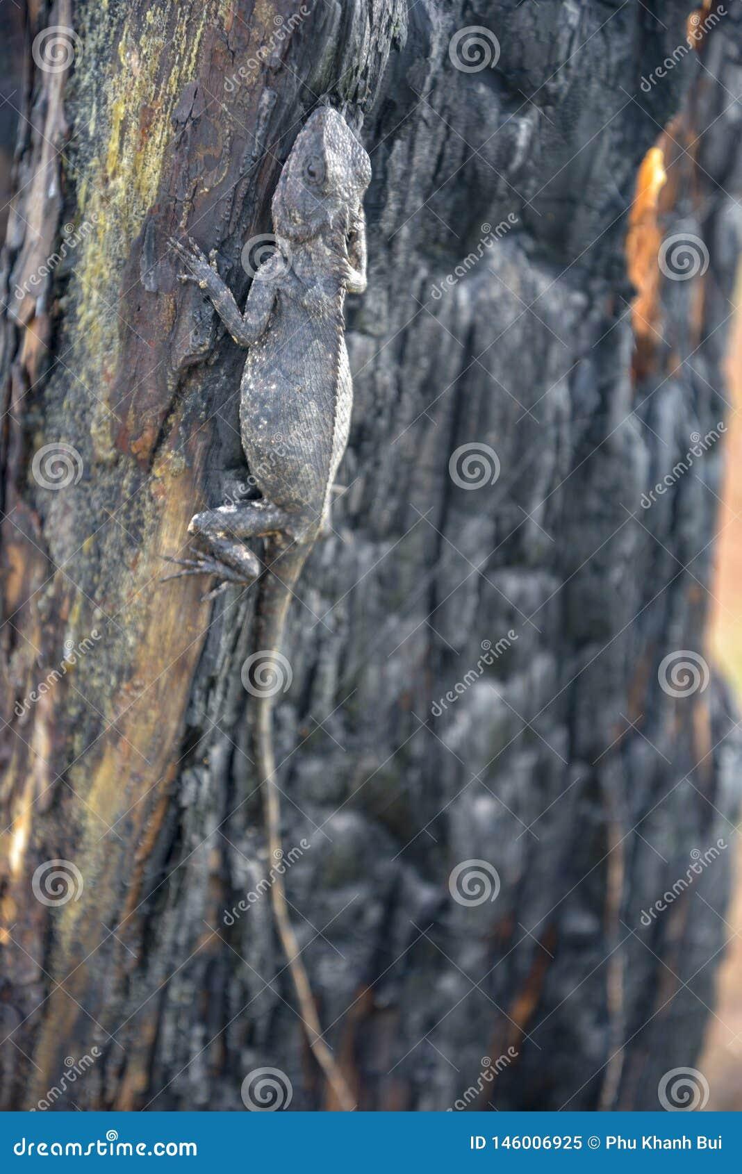 Les caméléons changent la couleur sur la partie brûlée de tronc d arbre