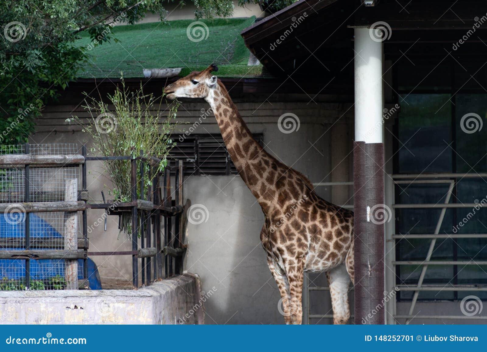 Les camelopardalis de Giraffa de girafe est un mammifère ongulé égal-botté avec la pointe du pied par Africain, le plus grand de