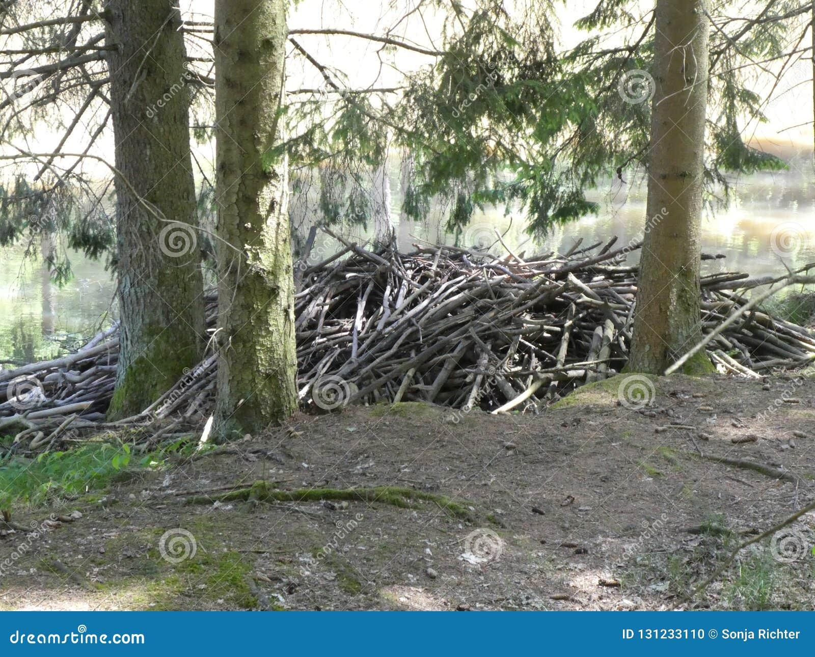 Les castors logent dans la forêt