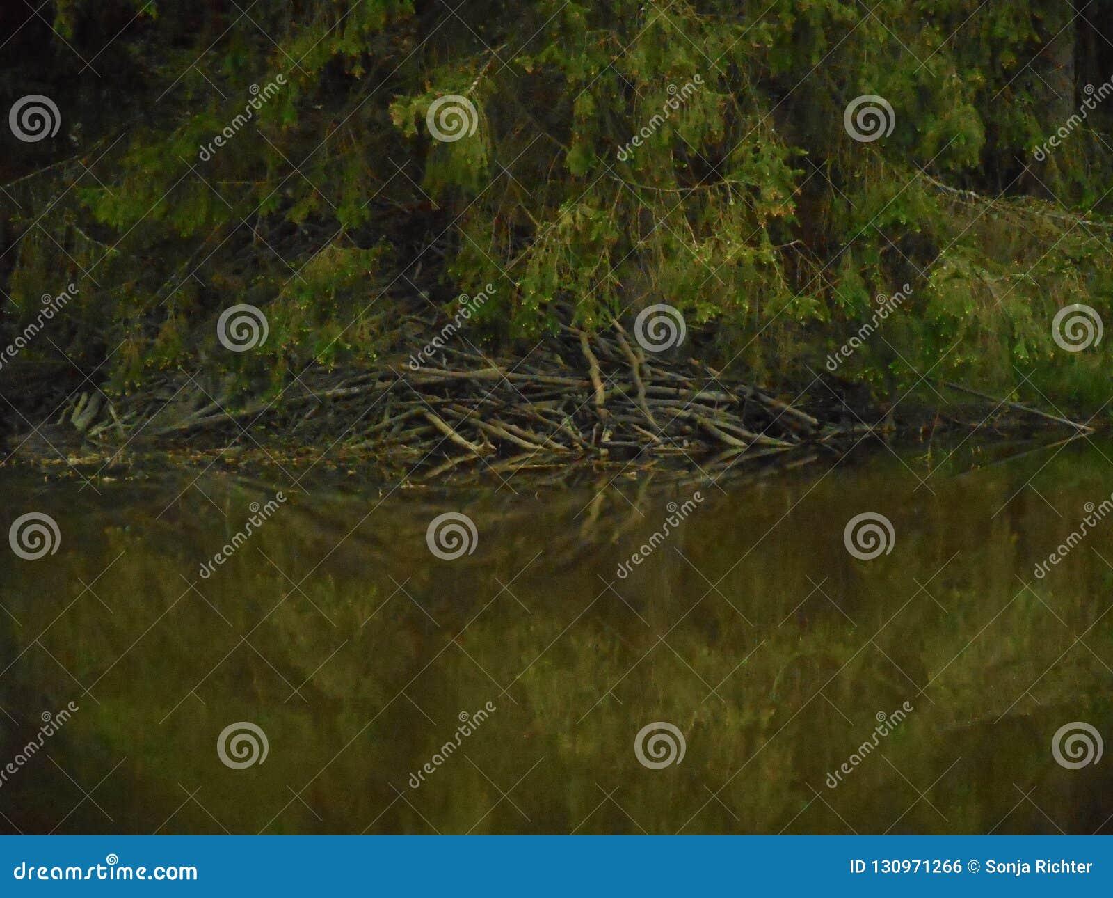 Les castors logent dans la forêt dans un étang