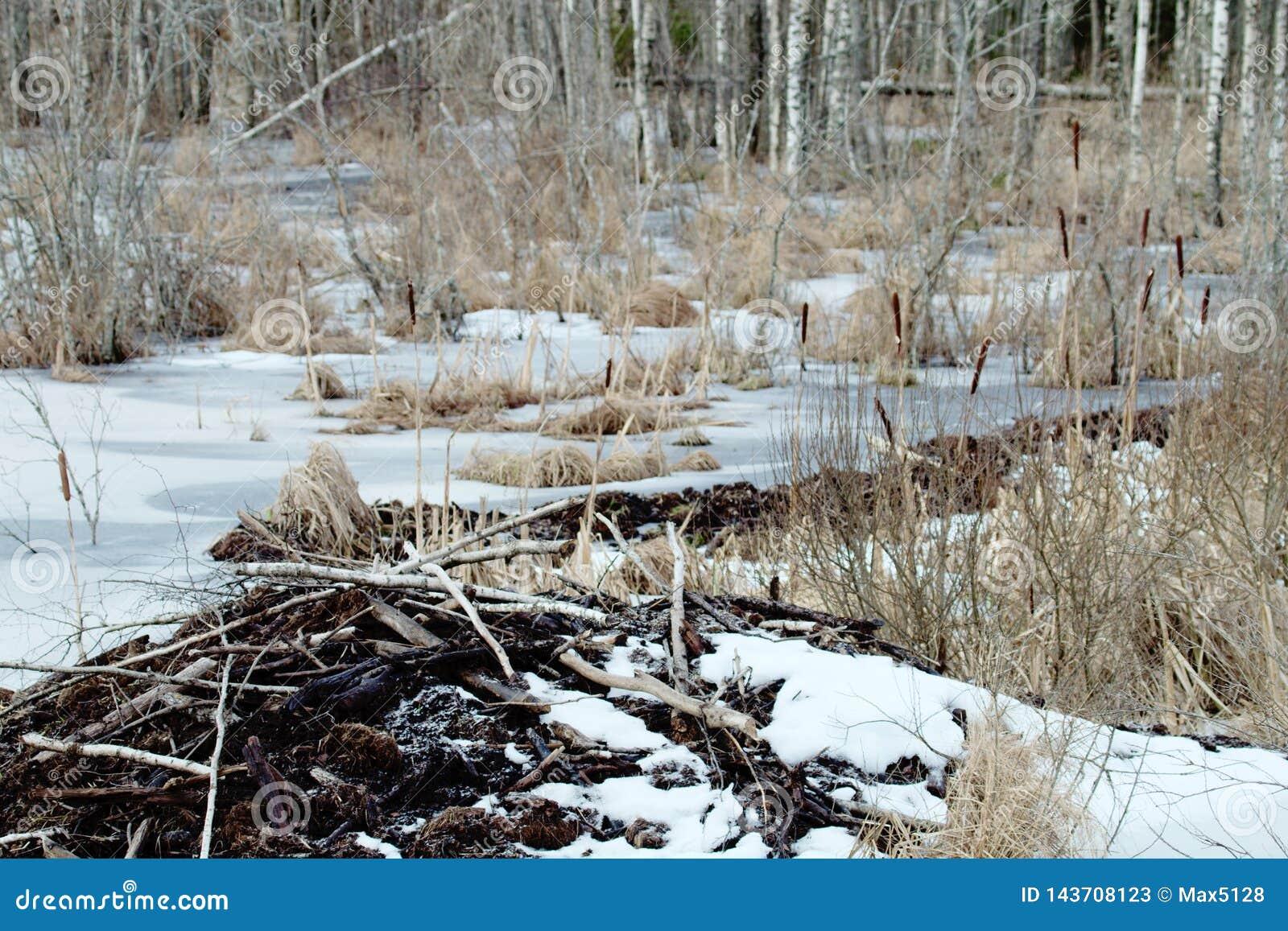 Les castors vivent sous la glace en hiver, barrage de castor
