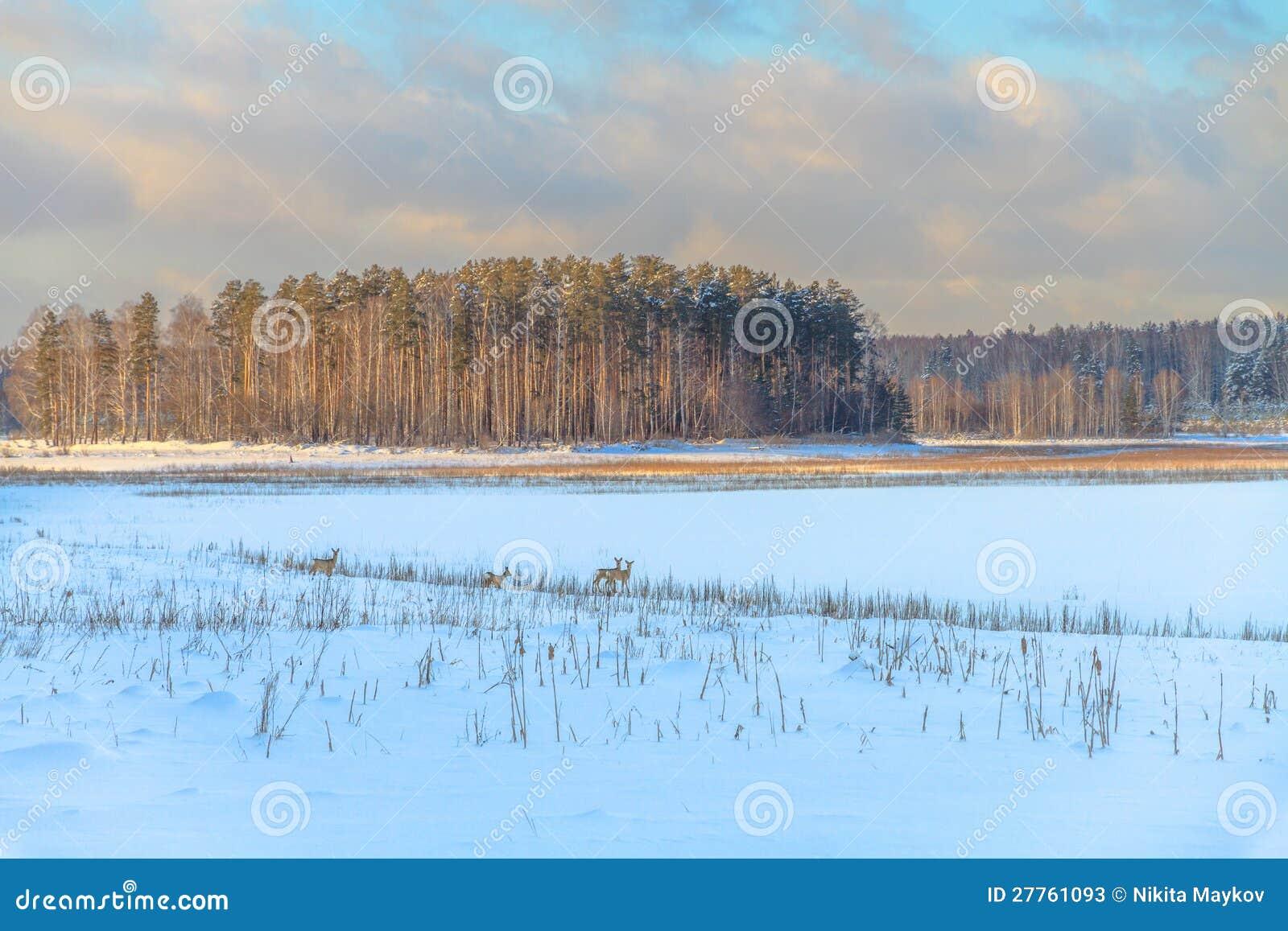 Les cerfs communs d oeufs de poisson frôlent dans la neige