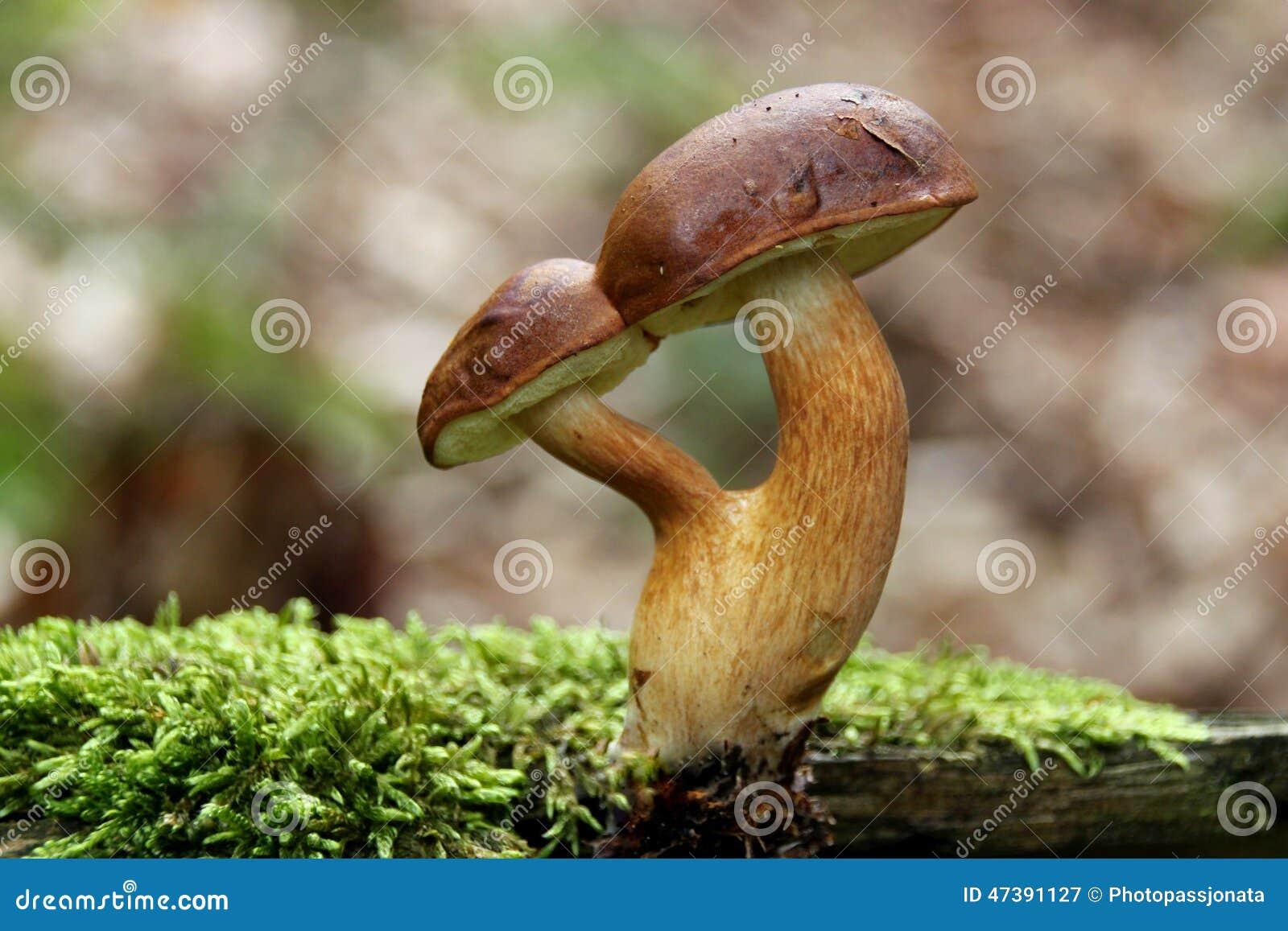 Les champignons de Brown deux ont fondu par le torse et les chapeaux