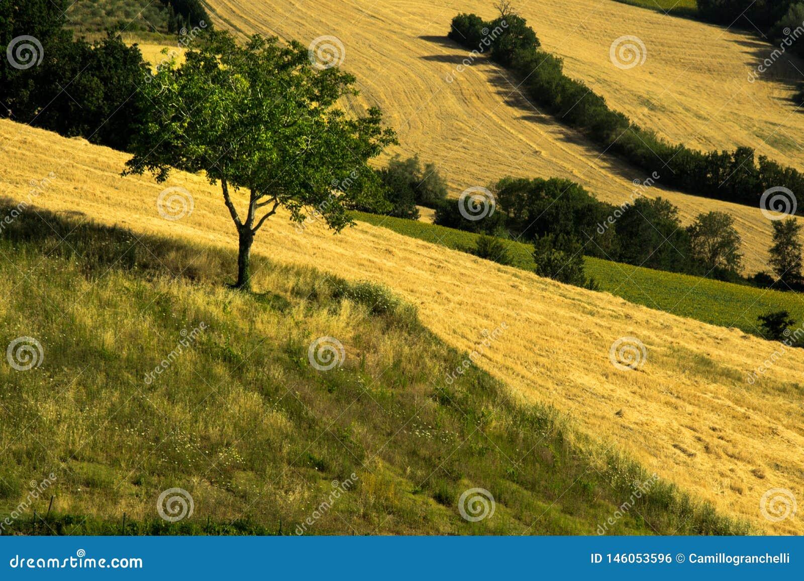 Les champs agricoles ont cultivé et ont labouré avec des secteurs de vert et de jaune