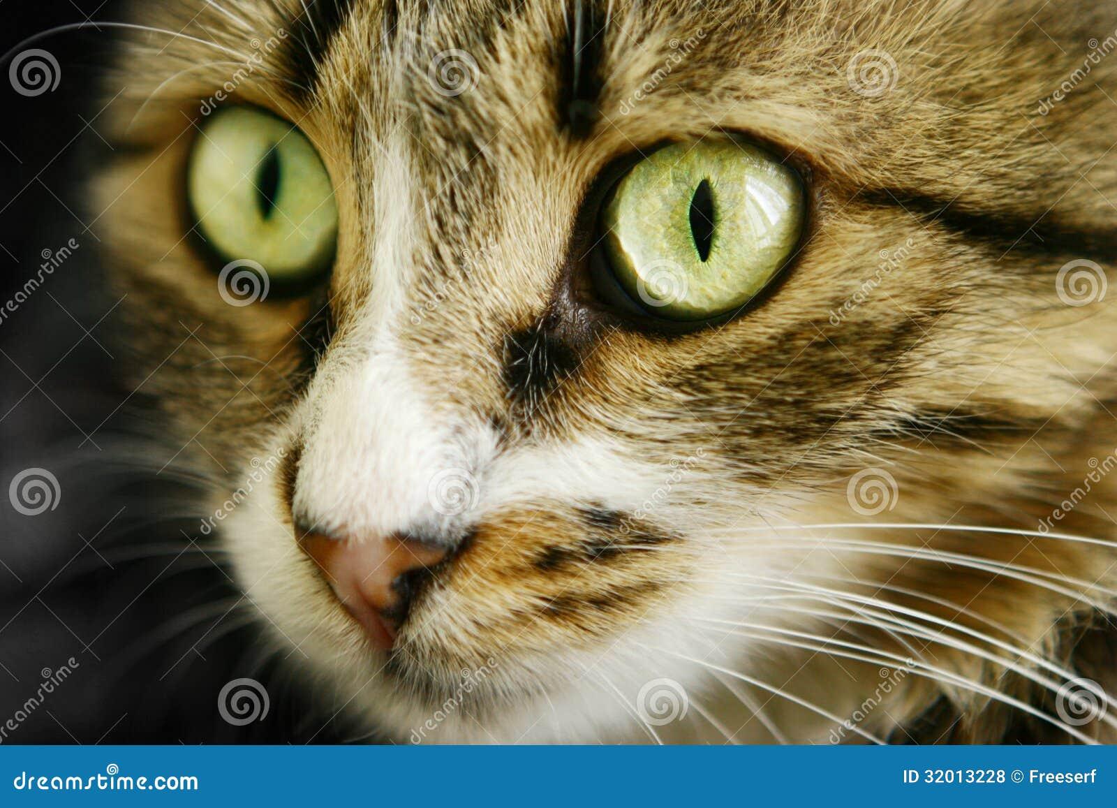 les chats font face avec de beaux yeux photos libres de droits image 32013228. Black Bedroom Furniture Sets. Home Design Ideas