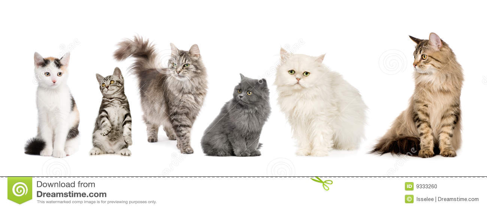Les chats groupent le Sibérien norvégien de ligne de p