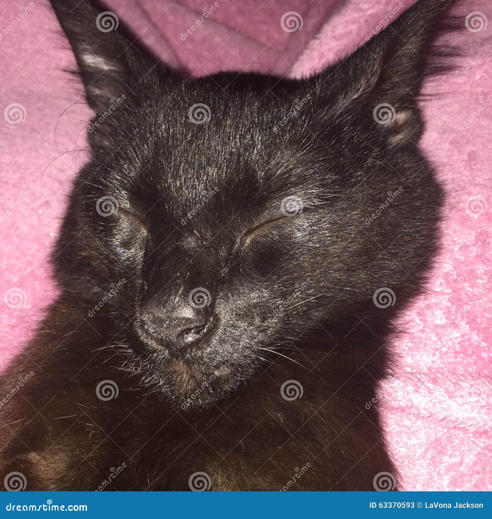 Les chats noirs sont beaux photo stock image 63370593 - Les danois sont beaux ...