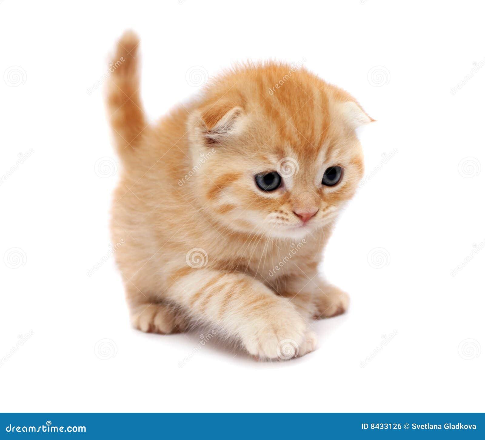 Les chats plient des écossais