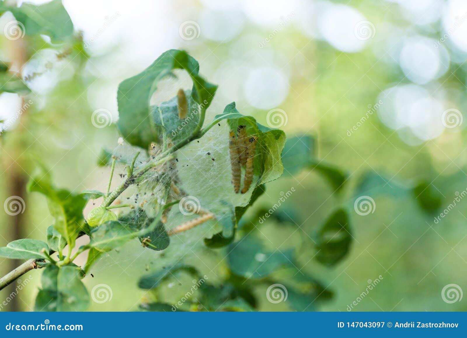 Les chenilles groupent sur l arbre dans le jardin D?truisez, insecte