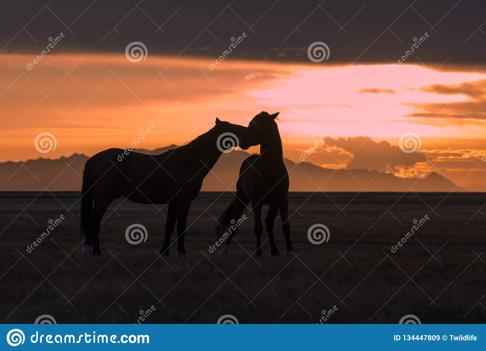 Les chevaux sauvages ont silhouetté au coucher du soleil dans le désert