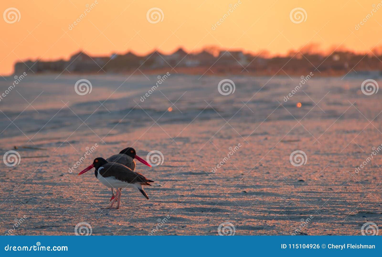 Les couples américains d huîtrier foragent sur la plage au coucher du soleil dans Cape May, NJ