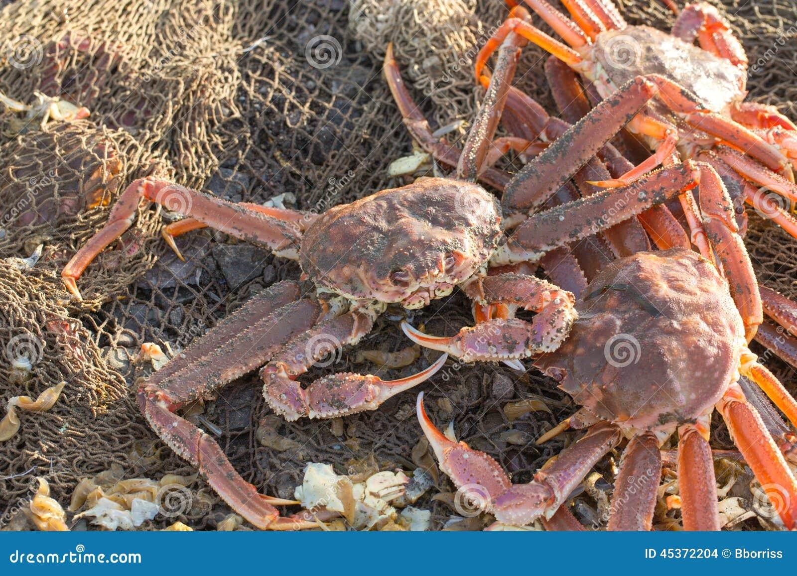 Les crabes attrapés frais